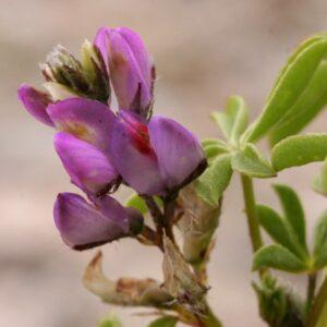Arizona Lupine, Lupinus arizonicus
