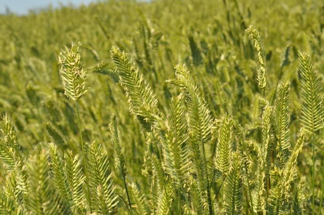 CD II Crested Wheatgrass