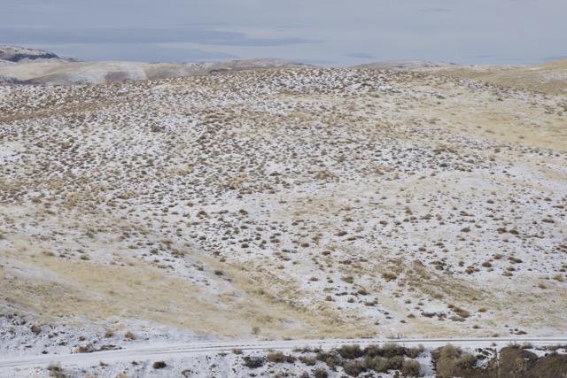 Immigrant Forage Kochia, north central Nevada