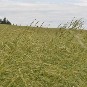 Snake River Wheatgrass