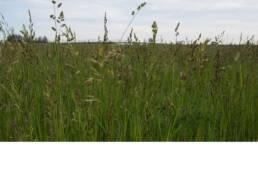 Irrigated Pasture Seed Mix