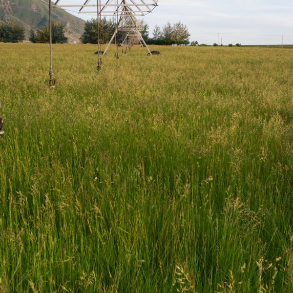 Irrigated Pasture Seed Mix