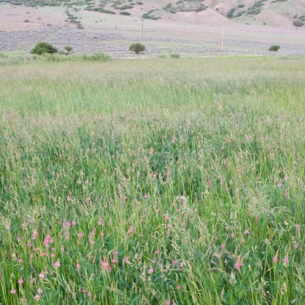 Irrigated PaIrrigated Pasture Seed Mixsture Mix