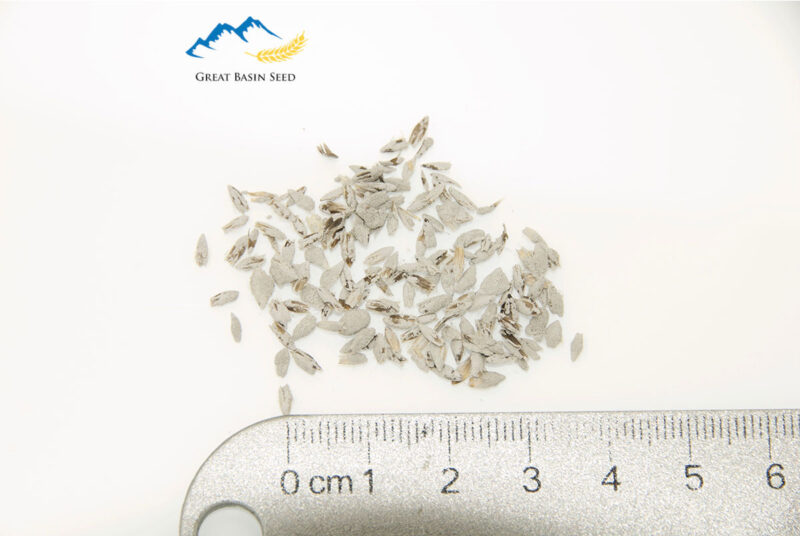close up shot of Garrison Creeping Foxtail seeds