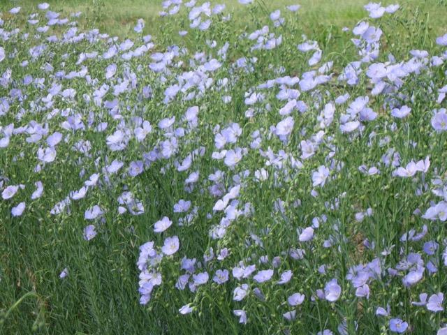 Appear Blue Flax
