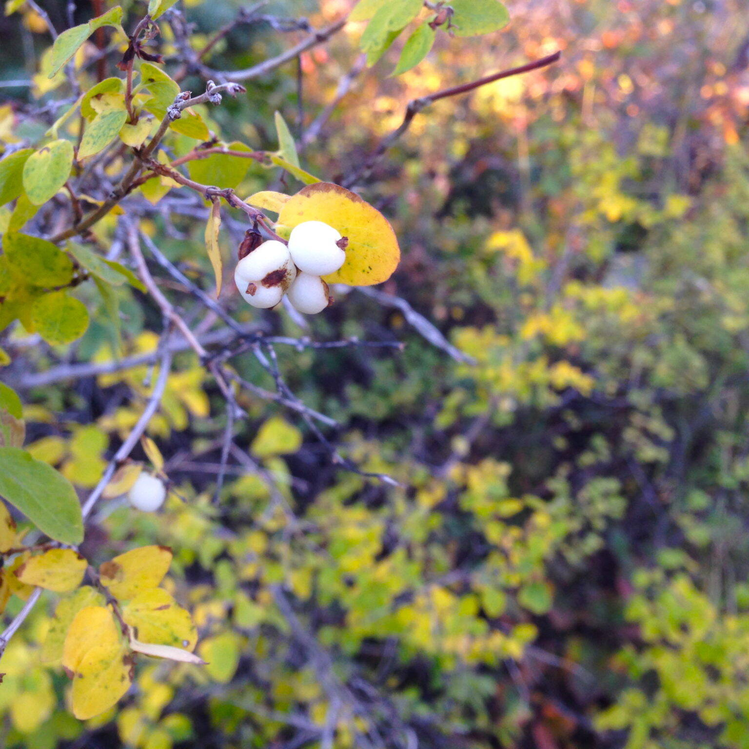 Western Mountain Snowberry