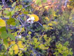 Western Mountain Snowberry