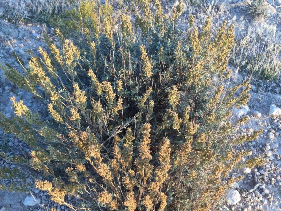 Low Sagebrush,LittleSagebrush,Artemesia arbuscula