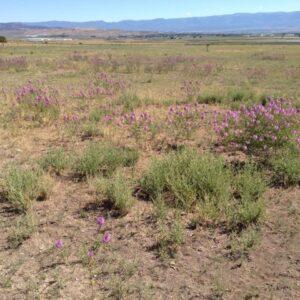 Rocky Mountain Beeplant near Freedom, Utah