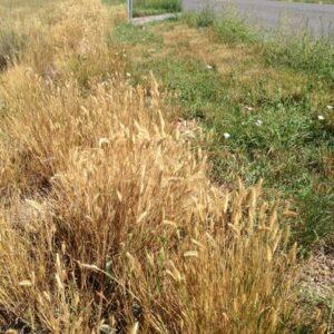 Crested Wheatgrass