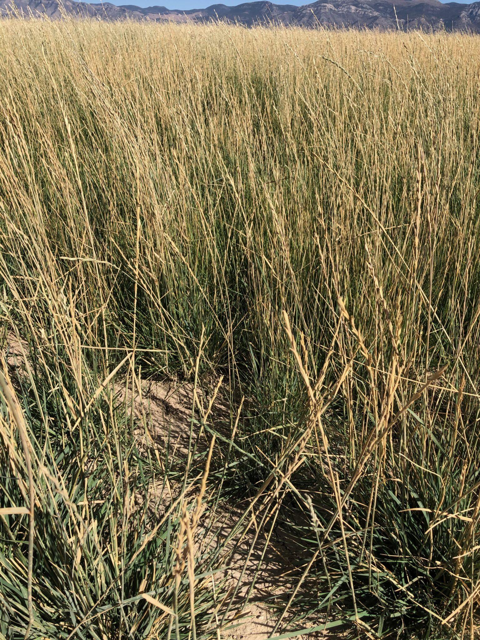 Tall Wheatgrass