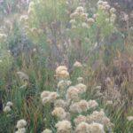 Rubber Rabbitbrush
