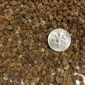 Small Burnet Seeds