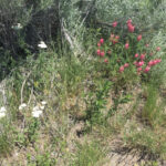 Sainfoin in a dryland situation