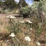 White Yarrow, Western Yarrow, Achillea milefollium