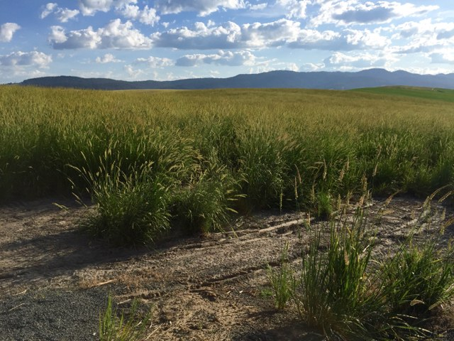 Trailhead Basin Wildrye