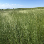 Pryor Slender Wheatgrass