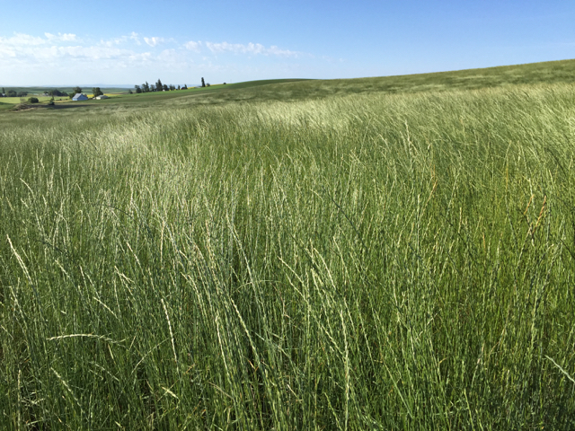 Pryor Slender Wheatgrass