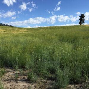 Thickspike Wheatgrass
