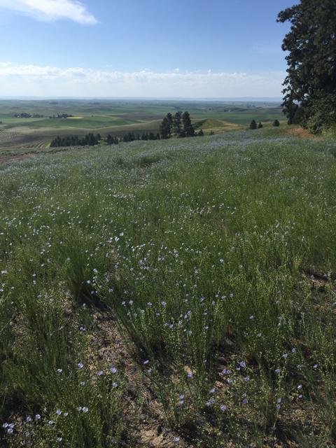 blue flax seed