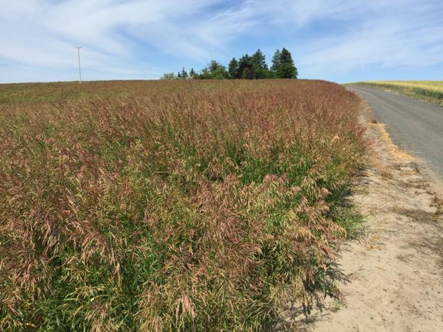 Manchar Bromegrass