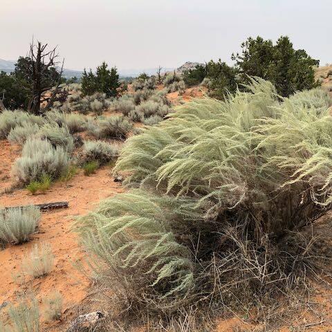 Sand Sagebrush, artemisia filifolia