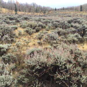 Mountain Big Sagebrush, Artemisia tridentata tridentata