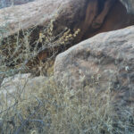 Blue Grama, Buckhorn Wash, San Rafael Desert UT