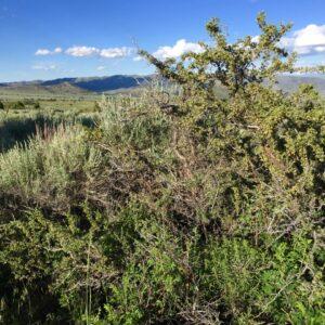 Antelope Bitterbrush