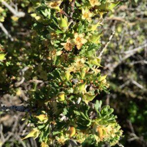 Antelope Bitterbrush, Almo ID
