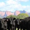 Cows standing on a field of Dryland Pasture Seed Mix with cliffs in the background