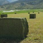 Lander Alfalfa near Ephraim, UT