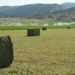 Freshly bailed Lander Alfalfa near Ephraim, UT
