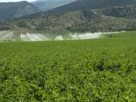 Lander Alfalfa, Salt Tolerant Alfalfa 639ST
