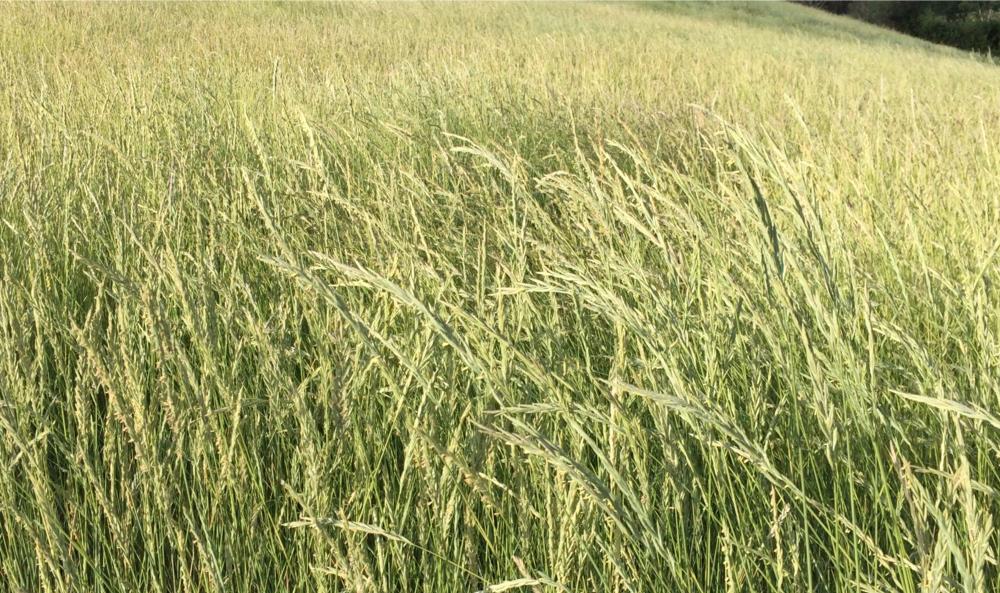 Western Wheatgrass