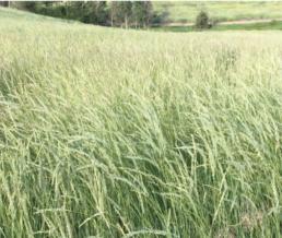 Ariba Western Wheatgrass