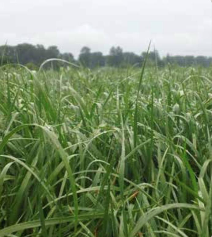 Oro Verde Perennial Ryegrass