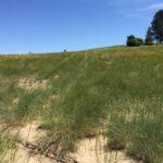 Antoine Bluebunch Wheatgrass