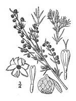 black and white image of Fringed Sagebrush plant, scientific name artemesia frigida