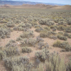 Black Sagebrush