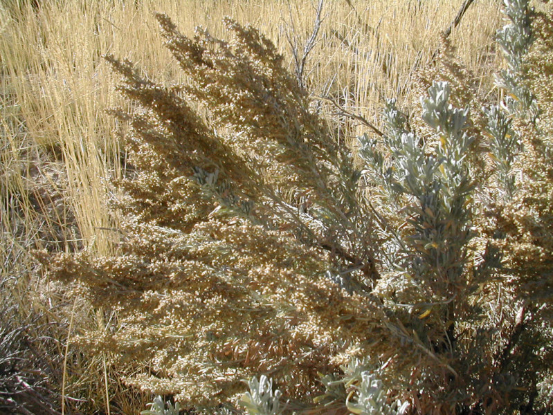 Basin Big Sagebrush