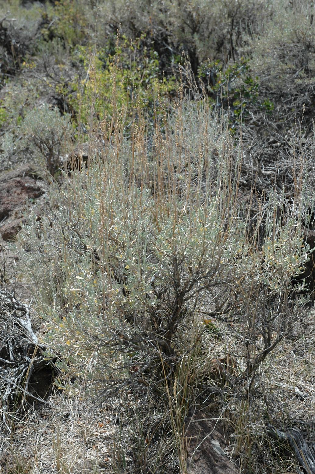 Mountain Big Sagebrush