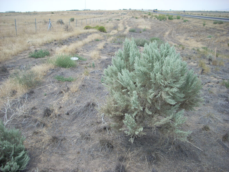 Basin Big Sagebrush