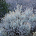 Wyoming Big Sagebrush