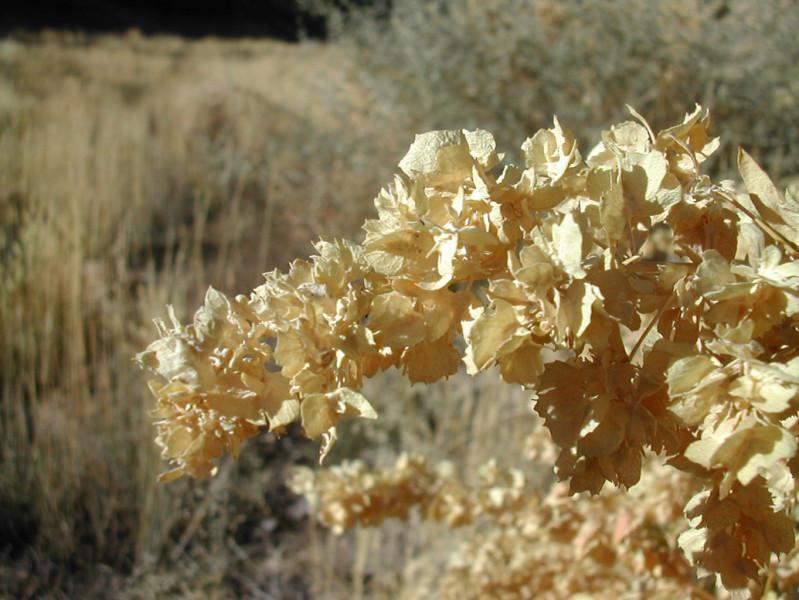 Fourwing Saltbrush