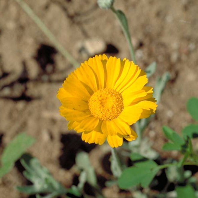 Desert Marigold