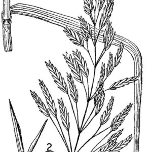 Smooth Brome | Rocky Mountain Biological Laboratory  |Smooth Bromegrass Seed
