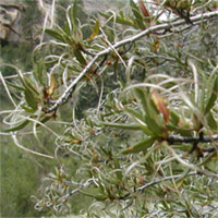 Curl Leaf Mountain Mahogany