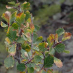 Birchleaf or True Mountain Mahogany