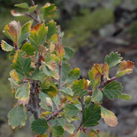 Birchleaf or True Mountain Mahogany